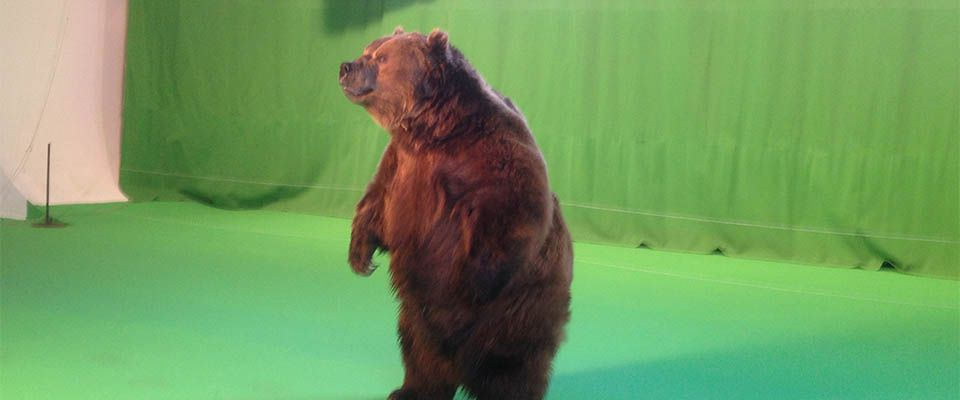 bear in front of green screen